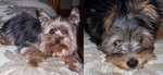 Cute Yorkie Photo